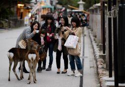 """Miyajima – """"vương quốc"""" của những chú hươu ở Nhật Bản"""