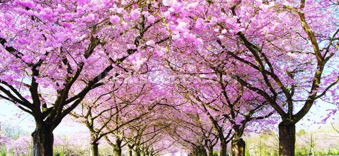 Bật mí những điểm ngắm hoa anh đào lý tưởng tại Đài Loan