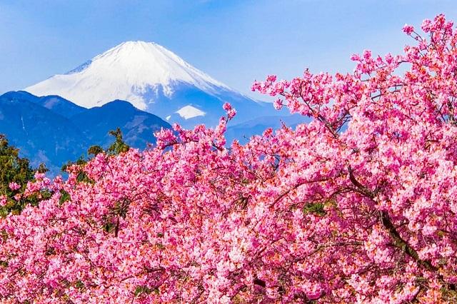Bạn sẽ được chiêm ngưỡng sắc hoa anh đào tươi thắm khi leo núi Phú Sỹ vào mùa xuân