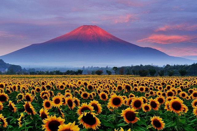 Cánh đồng hoa hướng dương khoe sắc rực rỡ vào những tháng hè
